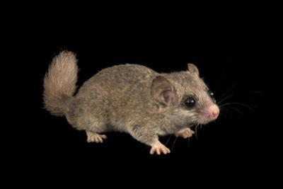 Woodland dormouse, Graphiurus murinus, at the Budapest Zoo. by Joel Sartore