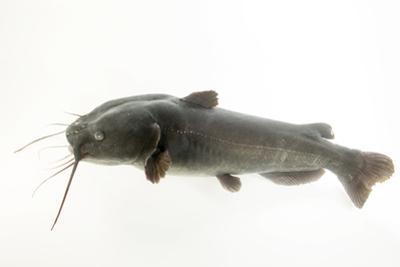Yaqui catfish, Ictalurus pricei by Joel Sartore