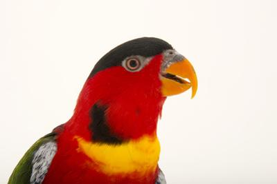 Yellow Bibbed Lory, Lorius Chlorocercus, from a Private Collection