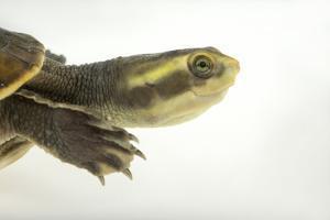 Yellow-Faced Turtle, Emydura Tanybaraga by Joel Sartore