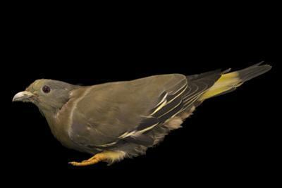 Yellow-footed green pigeon, Treron phoenicopterus annamensis by Joel Sartore