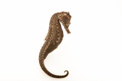Yellow seahorse, Hippocampus kuda by Joel Sartore