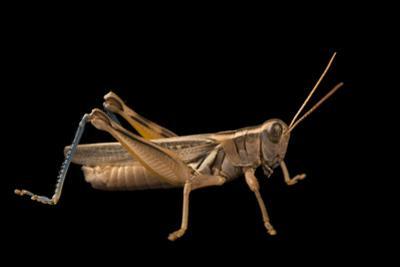 Yellowish spur throat grasshopper, Melanoplus flavidus by Joel Sartore