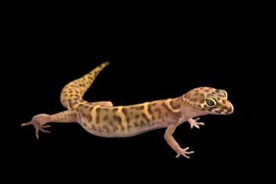 Yucatan banded gecko, Coleonyx elegans by Joel Sartore