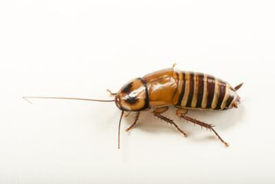 Zebra cockroach, Eurycotis decipiens, at the Budapest Zoo. by Joel Sartore