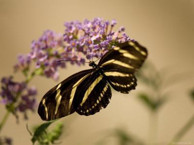 Zebra Winged Butterfly at the Lincoln Children's Zoo, Nebraska by Joel Sartore