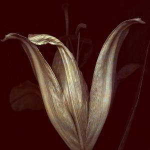 Lily 2 by Johan Lilja