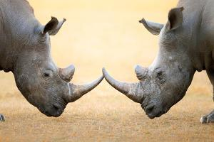 White Rhinoceros (Ceratotherium Simum) Head to Head - Kruger National Park (South Africa) by Johan Swanepoel