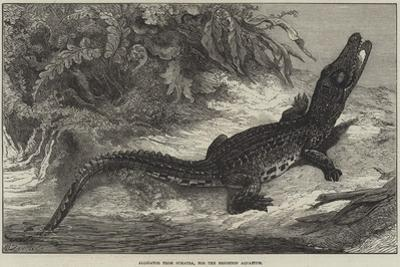 Alligator from Sumatra, for the Brighton Aquarium