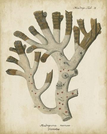 Esper Antique Coral II by Johann Esper