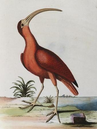 Red Crowned Woodpecker, Natural History of Uncommon Birds