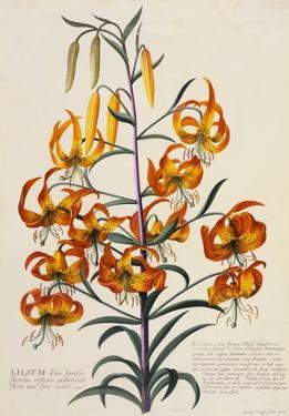 Botanical Print of American Turkscap Lily by Johann Wilhelm Weinmann