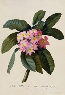 Botanical Print of Frangipani by Johann Wilhelm Weinmann