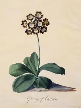 Botanical Print of Glory of Chilton by Johann Wilhelm Weinmann