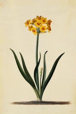 Botanical Print of Narcissus by Johann Wilhelm Weinmann