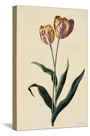 Botanical Print of Tulip by Johann Wilhelm Weinmann