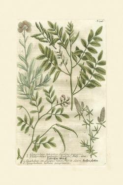 Garden Varietals II by Johann Wilhelm Weinmann