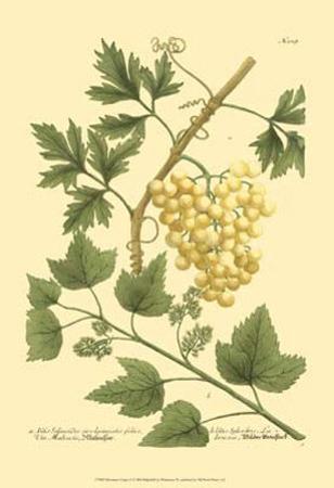 Grapes II by Johann Wilhelm Weinmann
