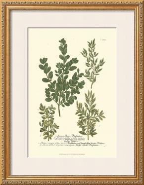 Leaves II by Johann Wilhelm Weinmann