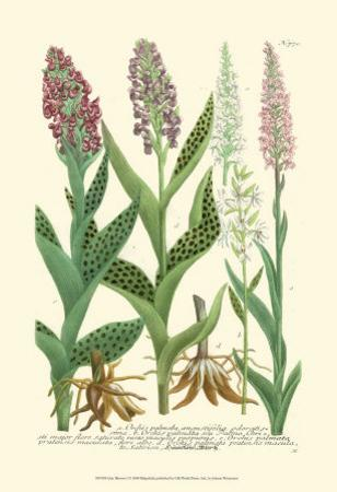 Lilac Blooms I by Johann Wilhelm Weinmann