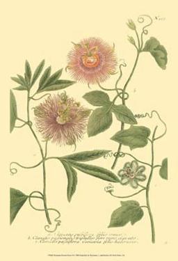 Passion Flower II by Johann Wilhelm Weinmann