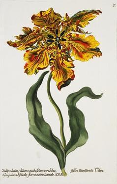 Tulipa Lutea, Lithograph by Johann Wilhelm Weinmann