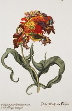 Tulipa Monstrosa Rubra Maior, Lithograph by Johann Wilhelm Weinmann