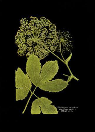 Weinmann Botanical on Black IV by Johann Wilhelm Weinmann