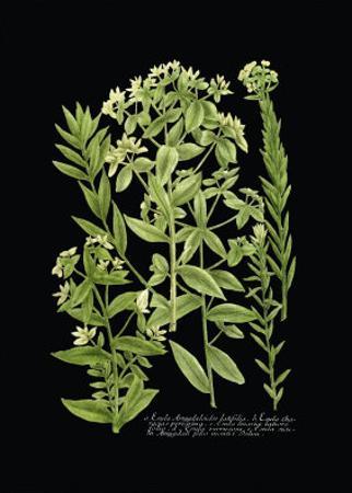 Weinmann Botanical on Black VI by Johann Wilhelm Weinmann