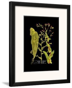Weinmann Botanical on Black VIII by Johann Wilhelm Weinmann