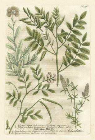 Weinmann's Garden II by Johann Wilhelm Weinmann