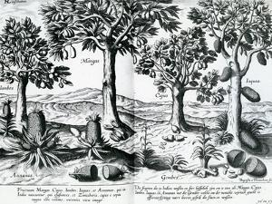 Tropical Fruit Trees, 1596 by Johannes Baptista van Frueauf the Younger