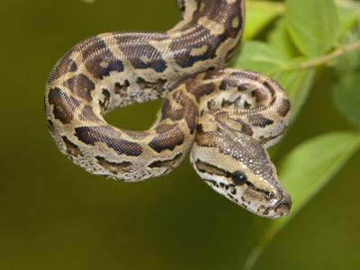 Africa Rock Python (Python Sebae), South Africa
