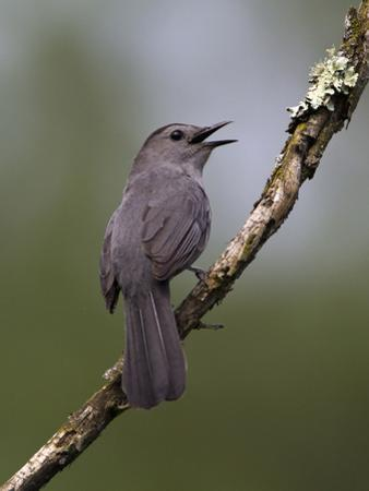 Gray Catbird (Dumetella Carolinensis) Male Vocalizing, Virginia, USA