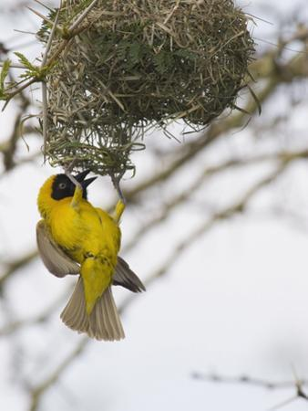 Lesser Masked-Weaver Male at the Nest (Ploceus Intermedius), South Africa