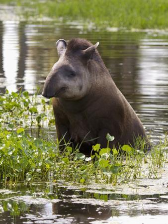 Lowland or South American Tapir (Tapirus Terrestris), Captive