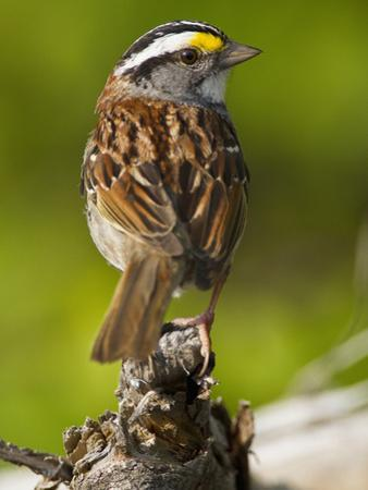 Male White-Throated Sparrow (Zonotrichia Albicollis), New Hampshire, USA