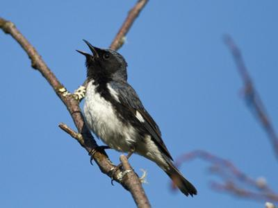 Two-Year Old Male Black-Throated Blue Warbler (Dendroica Caerulescens), New Hampshire, USA