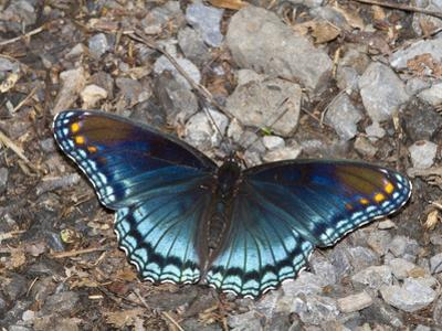 White Admiral or Red-Spotted Purple (Limenitis Arthemis), Maryland, USA