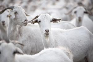 Goats in Andalucia, Spain, Europe by John Alexander