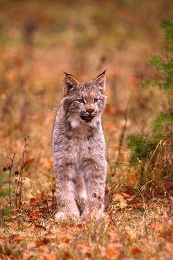 A Bobcat Out Hunting in an Autumn Colored Forest by John Alves