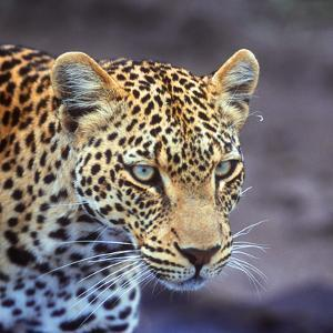 A Leopard Hunting in a Forest in Kenya by John Alves