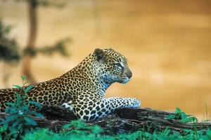 A Leopard Laying on a Log Next to a River in the Samburu National Preserve, Kenya by John Alves