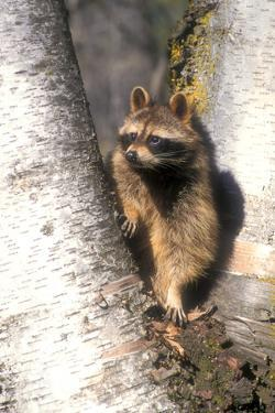 A Raccoon Standing in the Y of an Aspen by John Alves