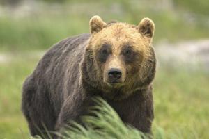 An Alaskan Brown Bear Stares Intently at Camera by John Alves