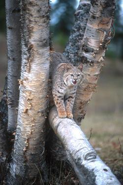 Bobcat on a Fallen Birch Limb by John Alves