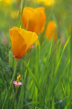 California Golden Poppies in a Green Field by John Alves