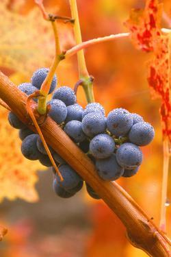 California, Napa Valley, Wine Country, Dew on Cabernet Grapes in Colorful Vineyard by John Alves