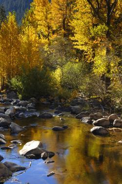 Fall Color Is Reflected Off a Stream Flowing Through an Aspen Grove in the Sierras by John Alves