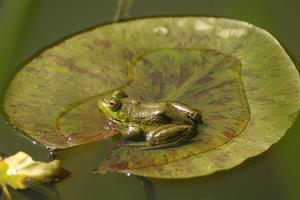 Frog on a Lily Pad at a Pond in Amador County, California by John Alves